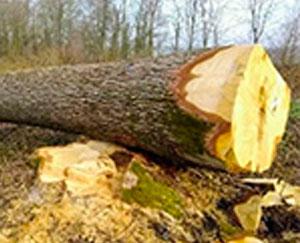 Stave Wood